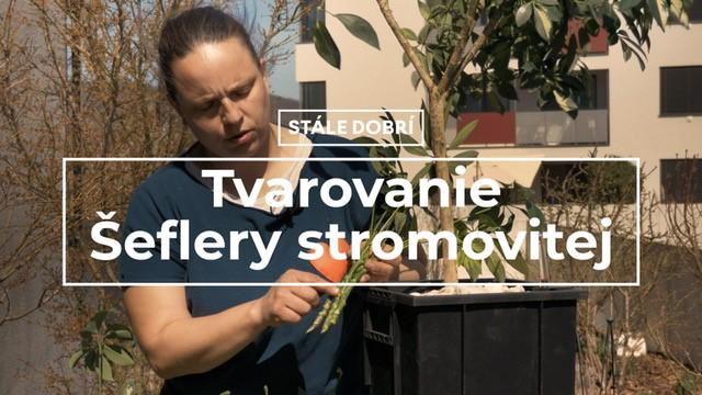 Tvarovanie Šeflery stromovitej